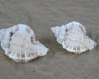 Gulf of Mexico-Florida Gulf Coast Murex Shells