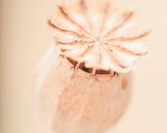 Poppy Seed Head Photography, Dried Poppy Pod, Soft Pastel Cream & Peach