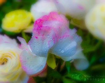 Nature photography, flower photography,  floral photo Ranunculus