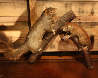 Vintage Taxidermy Squirrel Pair on Branch