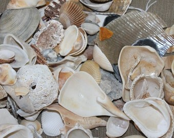 Sea Shells and Sea Shell Pieces, 2.5 pounds lot, Ocean Shells and Broken Sea Shells, Bulk Sea Shells, Some Broken, Seashells vary species.