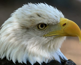 American, Bald, Eagle, photo, print, art, nature photography, home decor, wall art, free shipping