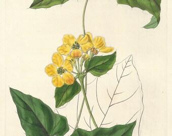 Awned Stigmaphyllon - native of South America, botanical engraving 1834