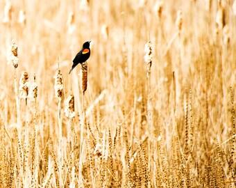 "6"" X 6"" Red-Winged Blackbird in Yellow Field Photo Card (Blank inside)"