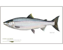 Coho Salmon Open Edition Print by Flick Ford, Western native salmon, natural history art, fish art, freshwater gamefish picture
