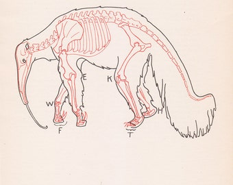 Vintage Anteater Anatomy Print Skeleton Illustration Book Plate Color Animal
