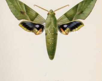 Green Moth Vintage Illustration.  Science.  Digital Download