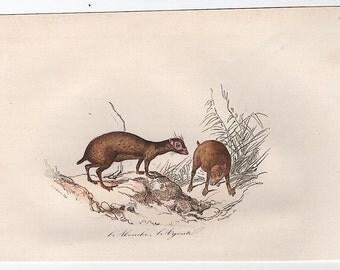 1860 agouti print original antique hand colored animal engraving - buffon cuvier natural history