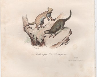 1860 mongoose & possum print original antique hand colored animal engraving - buffon cuvier natural history