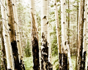 Aspen tree Photography woodland charred nature forest fire trees rocky mountain colorado black green fog initials - Remnants - fine art