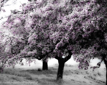 Print of Crab Apple Trees, trees, Spring, Nature, Tree Photography, Signed, Artist, Purple, 8x10 and larger