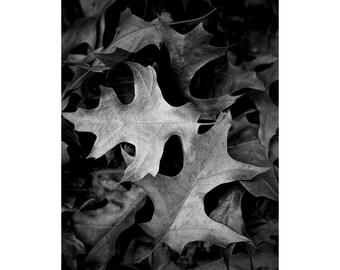 Fallen Autumn Oak Leaves in West Michigan No.2qtr A Black and White Fine Art Nature Photograph
