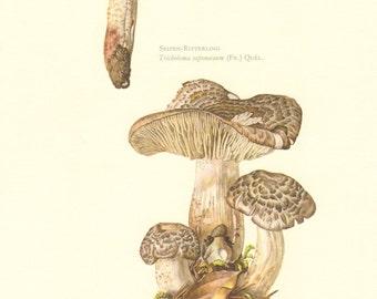 1963 Soap-Scented Toadstool - Tricholoma saponaceum, Tiger Tricholoma - Tricholoma pardinum Vintage Offset Lithograph