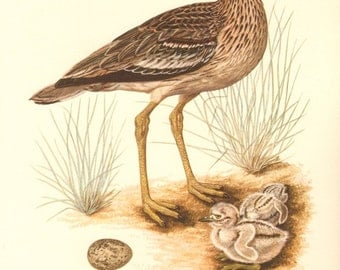 1953 Eurasian Stone-curlew, Stone Curlew or Eurasian Thick-knee - Burhinus oedicnemus Vintage Offset Lithograph