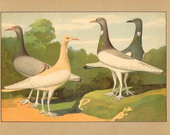 1910 Berlin Long-faced Tumbler Pigeons Original Antique Chromolithograph