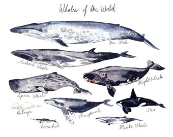Whales of the World Illustrated Chart - Giclee Print of Watercolor Painting 8 x 10 - Vintage Nautical Coastal 100% Charity Save The Whales