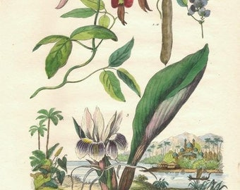 Antique Botanical Print/Engraving with original hand-coloring, by Guérin-Méneville, from Histoire Naturelle, 1834 - Ginger Plant