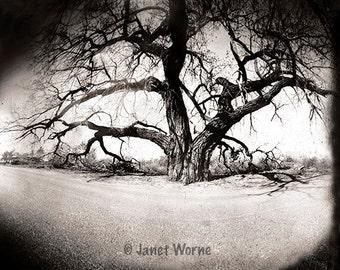 Cottonwood Tree, Pinhole Photograph