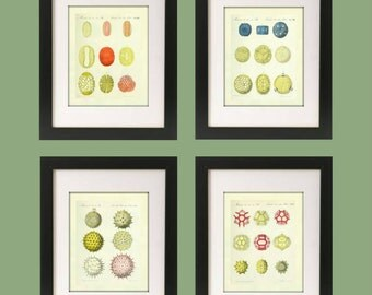 "POLLEN Art Print Set of 4 - 8"" x 10"" - Scientific Prints. Under the Microscope. Vintage Prints. Photo Lab Quality Professional Prints"