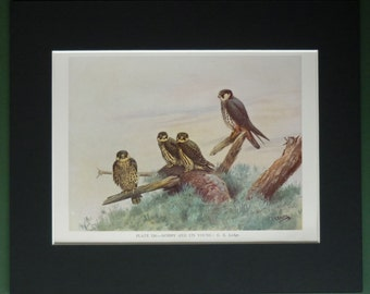 1930s Vintage Natural History Print, Hobby Bird of Prey and its Young Beautiful ornithology art, George Edward Lodge artwork, Nature Gift