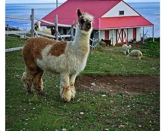 Alpaca Photo, Black Eyed Alpaca Print, Animal Photo, Alpaca Photograph, Photo Print, Photography Print, Animal Photography, Wall Print