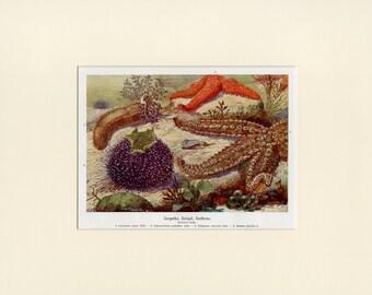 "Matted Antique Starfish Print Antique C. 1900 Ocean Life Beach Decor Gift Lithograph 11x14"""