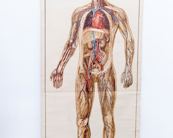 Vintage Anatomically pull down chart, Human Bloodflow Chart, Biology School Poster
