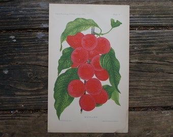 1888 - Antique Berries Print - Vintage Bookplate from The 1888 Commissioner of Agriculture