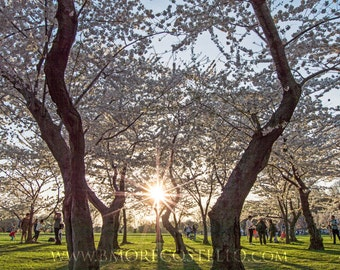 Sunset Among Blossoms, Washington DC