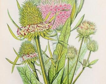 Anne Pratt Antique Botanical  Print - Teasels (104)