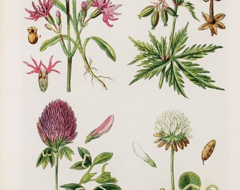 Antique Botanical Print : British Wild Flowers of Field & Meadow - Ragged Robin, Meadow Cranesbill, Red and White Clover