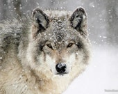 Wolf in Snow Winter Blizzard Northern Timber Wolves Wall Decor Paper Print - Wildlife Photography