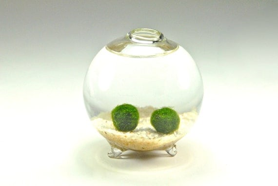 SALE!! Marimo Moss Ball Couple in Handblown Glass Globe - Underwater Moss Terrarium, Unique Gift Idea for Men and Women, Anniversary Gift