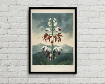 Botanical illustration. Botanical print. Illustration print. Home decor. Flower illustration. Orchid flower illustration. China limodoron