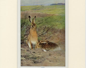 RABBIT PRINT c.1910 Antique Lithograph - Matted 11x14 - Wild Hares, Bunny, Natural History - Wall Art, Home Decor, Gift Idea - Vintage Art