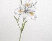 White iris, original unframed watercolour botanic art painting
