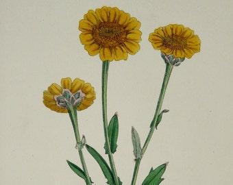 1873 Antique botanical print of a CORN MARIGOLD FLOWERS. Chrysanthemum segetum. Wild flowers. Yellow flower. Botany. 144 years old print