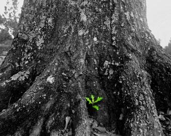Oak Tree Photo, Sapling Photo, Black and White Photo, Nature Photography, Water Oak Photo, Woodland Tree Photo,
