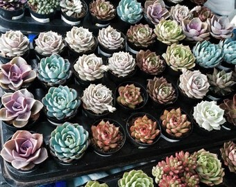 "8 Assorted 2.5"" rooted succulents plants. Premium Quality"