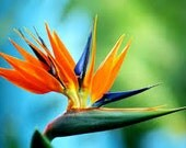 Bird of Paradise Seeds, Strelitzia Reginae, Tropical Plant, Exotic Flower, House Plant