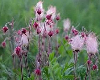Prairie Smoke Seeds, Geum Triflorum, Purple Prairie Avens, Flower, Cold Hearty Plant, Wildflower, Medicinal Herb, Perennial