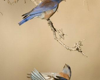 Western Bluebird, Bluebird Photography, Bird Photograph, Fine Art Prints, Bird Photo Décor Photographs, Bluebird Images, Songbird Images.