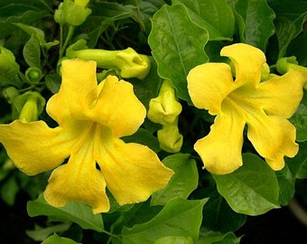 Free Shipping! 25 Fresh Cat's Claw (Yellow Trumpet Vine) Seeds