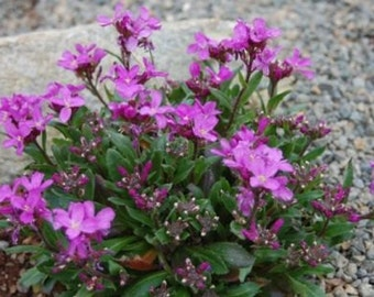 250 Seeds Rock Cress Arabis Spring Charm (PERENNIAL)