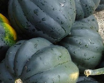 100 Bush Acorn Squash Seeds Table King 82 days