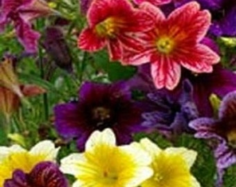 500 Painted Tongue Flower Seeds (Salpiglossis) Flower Seeds