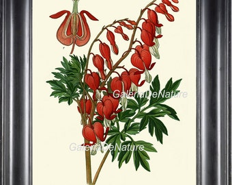 BOTANICAL PRINT Flower Art S15 4x6 5x7 8x10 11x14 Beautiful Red Bleeding Heart Plant Antique Large Home Living Dining Room Decor to Frame