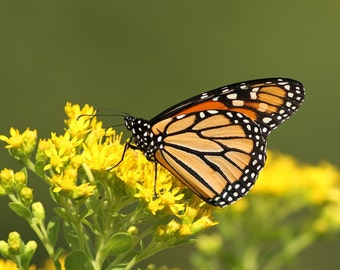 Monarch Butterfly, butterflies, insects, art, photo, home decor, wall art, nature photography, free shipping