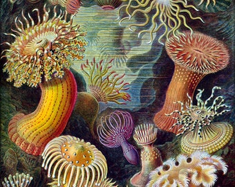 24x36 Poster; Sea Anemones Classified As Actiniae. By Ernst Haeckel C1904