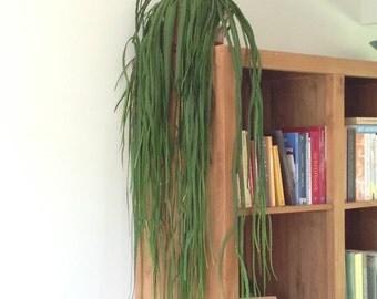 Lepismium bolivianum (Epicactus) - 1 cutting - 10 cm